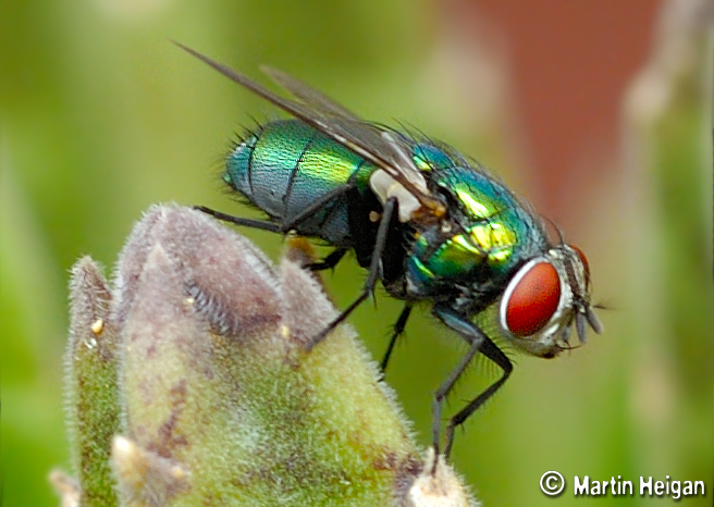 Blowfly Blow-fly